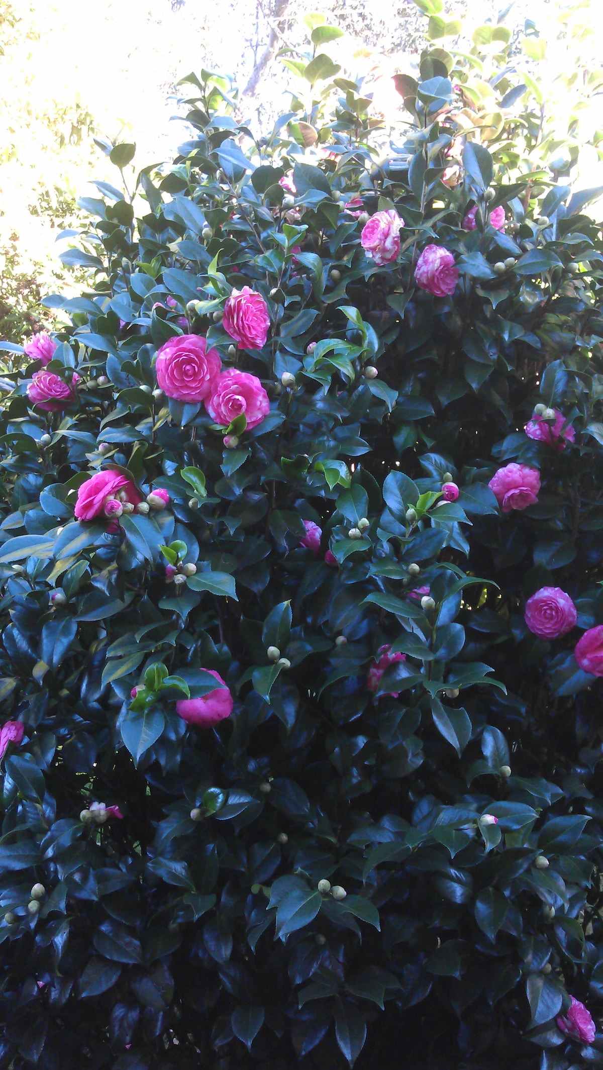 August Camelias in the front garden.