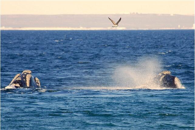 friendly whales, walking distance from apartment - ballenas en el mar muy cerquita del departamento