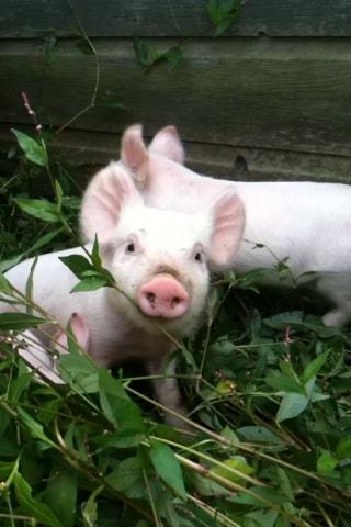 Piglets arrive June/July