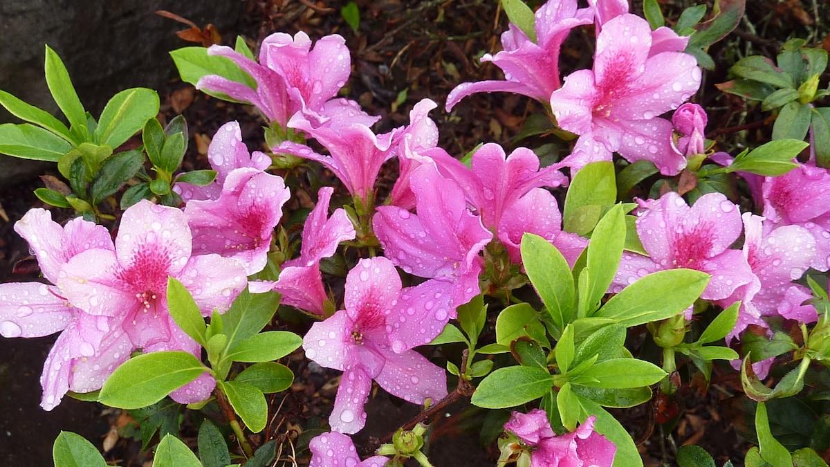 This is a beautifull Azalea in the garden
