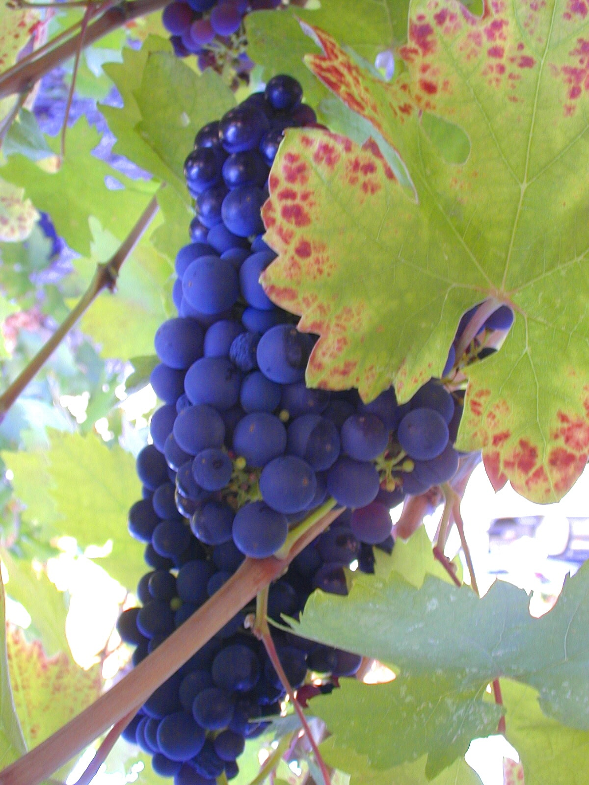A shot from last year ...  grapes from one of the vineyards surrounding our home