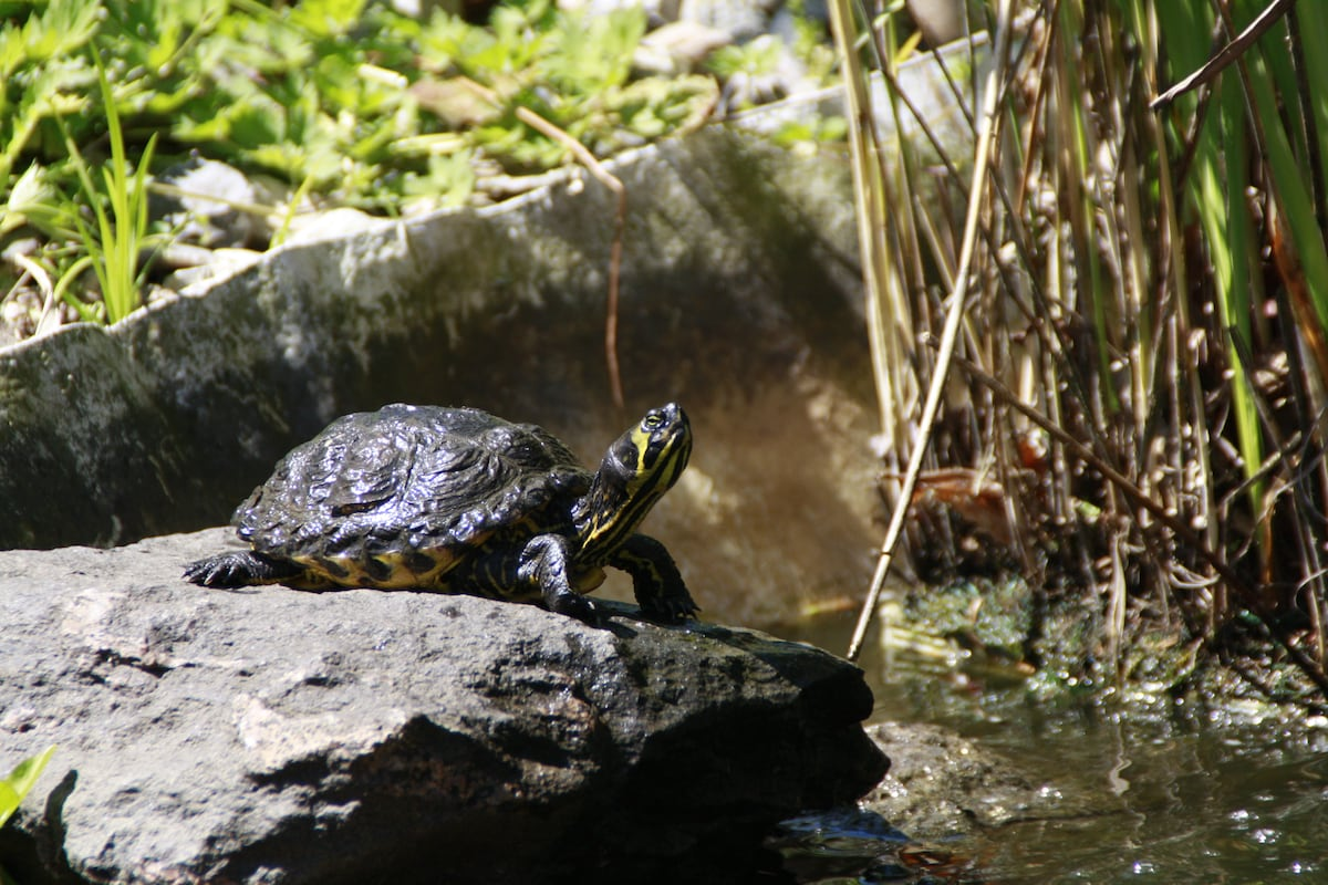 En af vores skildpadder i haven