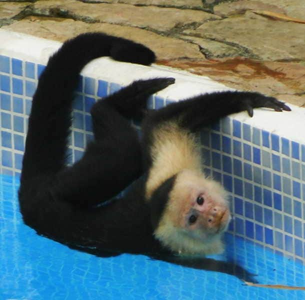 Sometimes the monkeys take a dip in one of our 3 pools.