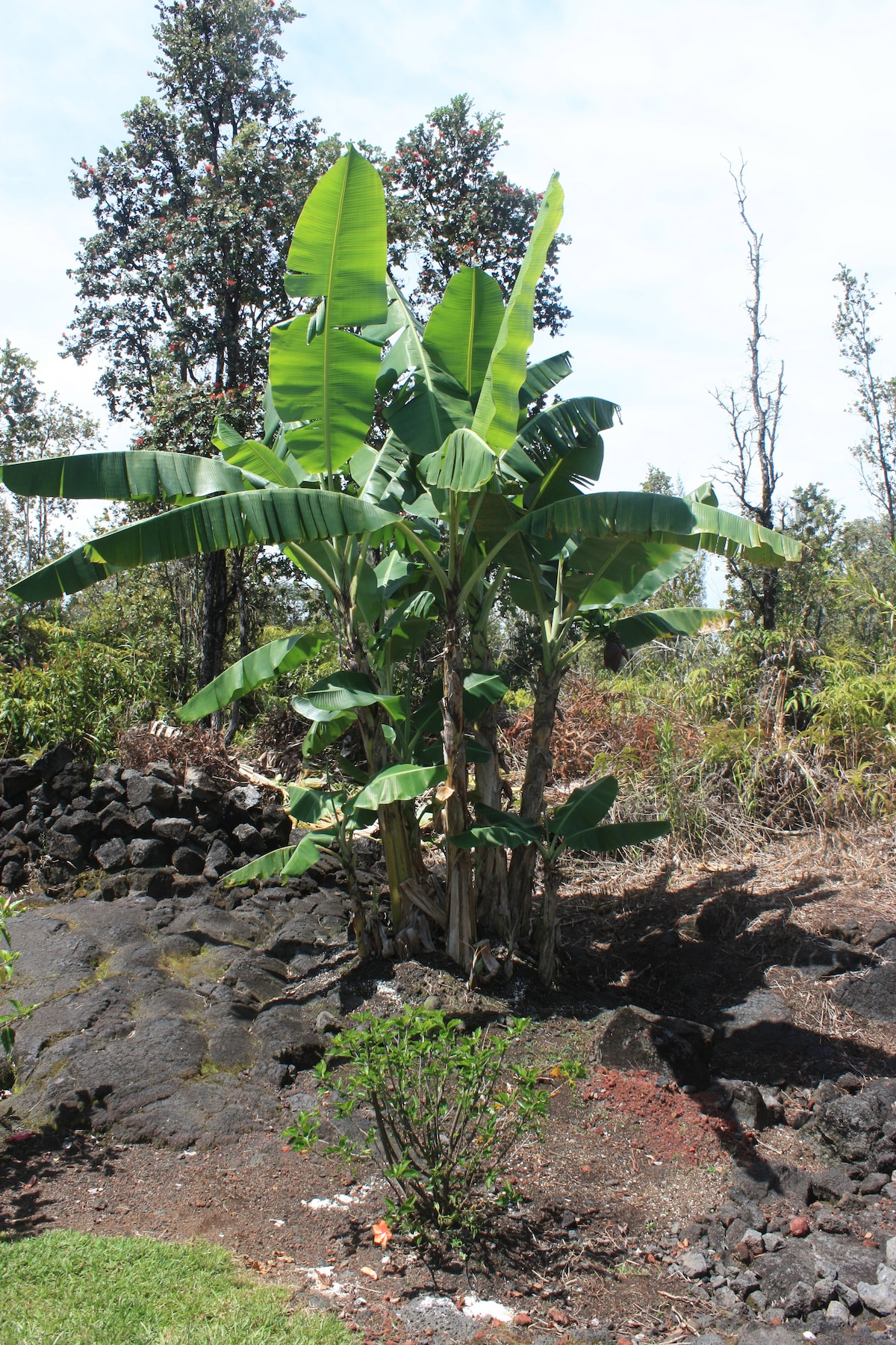 Our banana tree. No neighbors on this side of the property.
