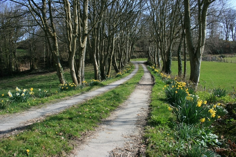 Gerallt's driveway in Springtime - a host of golden daffodils. (Not to mention the snowdrops, bluebells, wild garlic and orchids.)