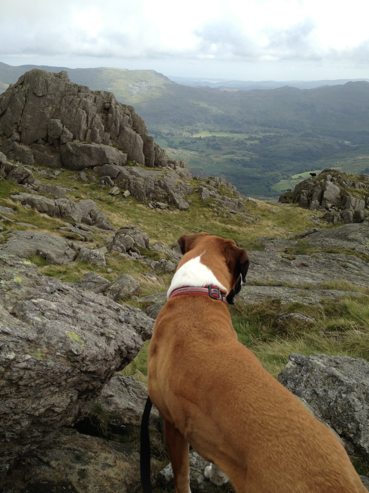 Amber, my dog, enjoying the view from Harter Fell