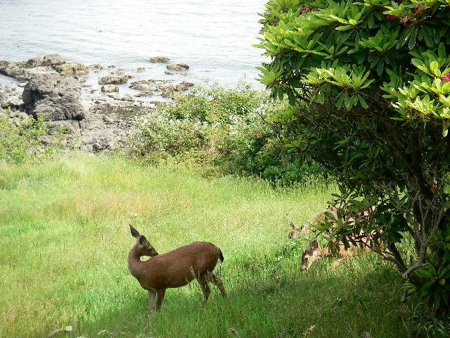 Deer frequently wander through the yard.