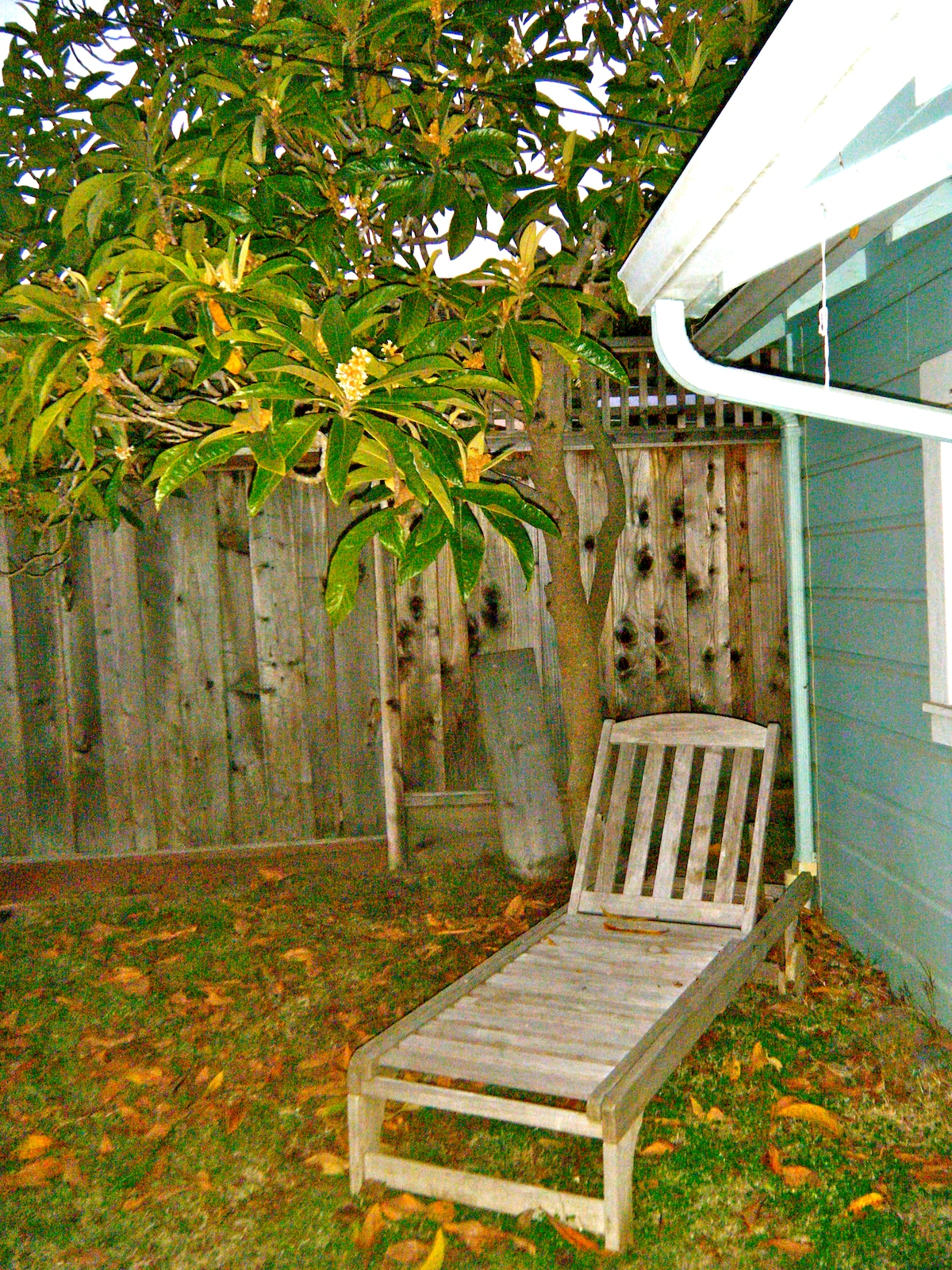 Chaise longue under the loquat tree.