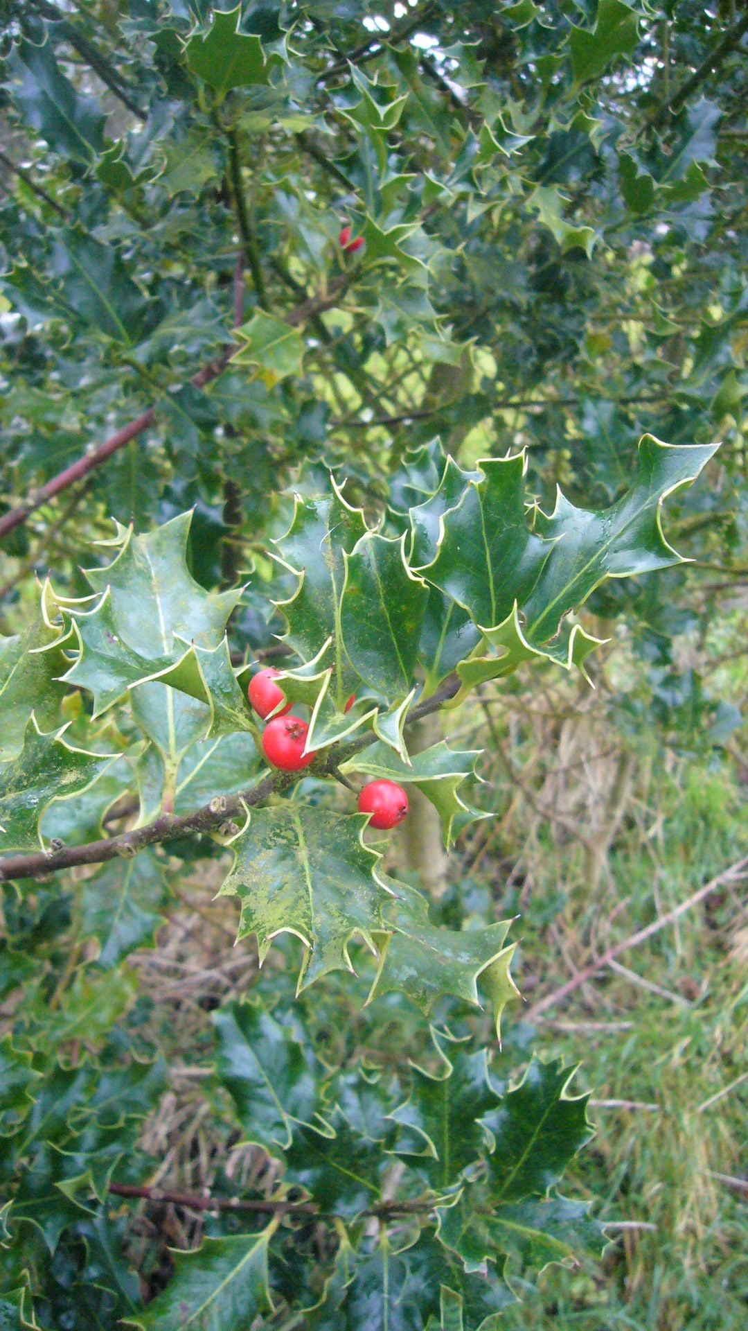 Holly in mid winter