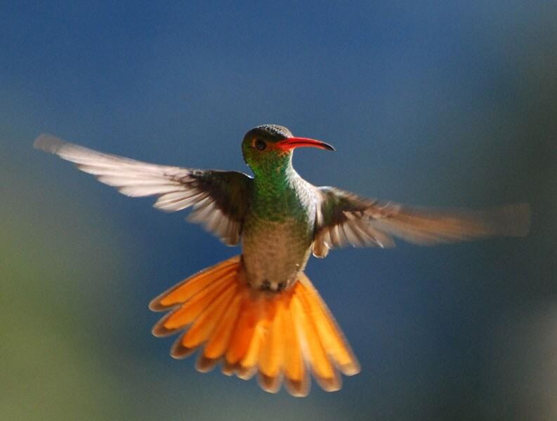 Rufous-Tailed Hummingbird - our garden