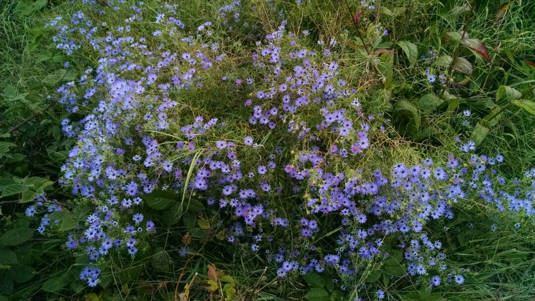 Fall asters.....