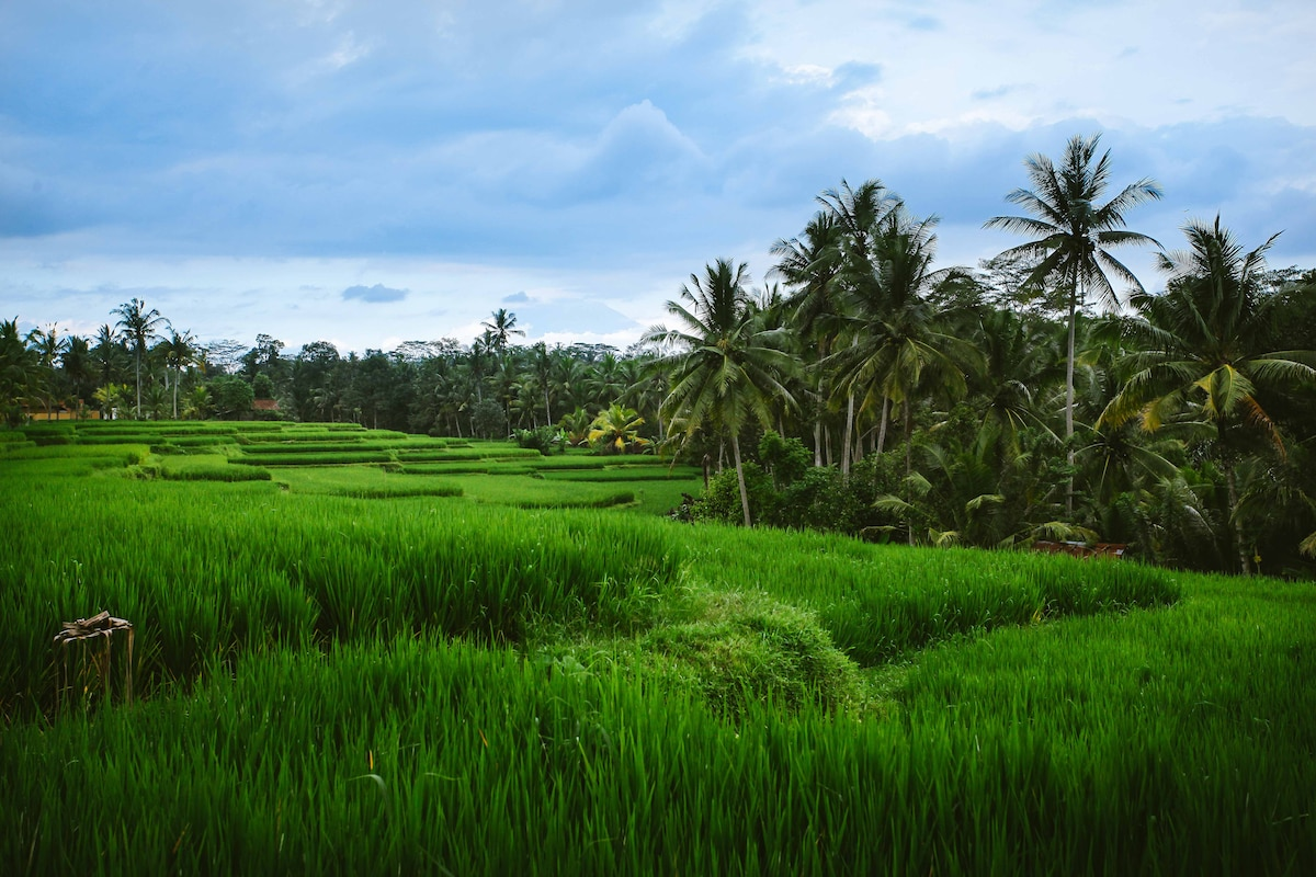 Panoramic Terrace Rice Paddies