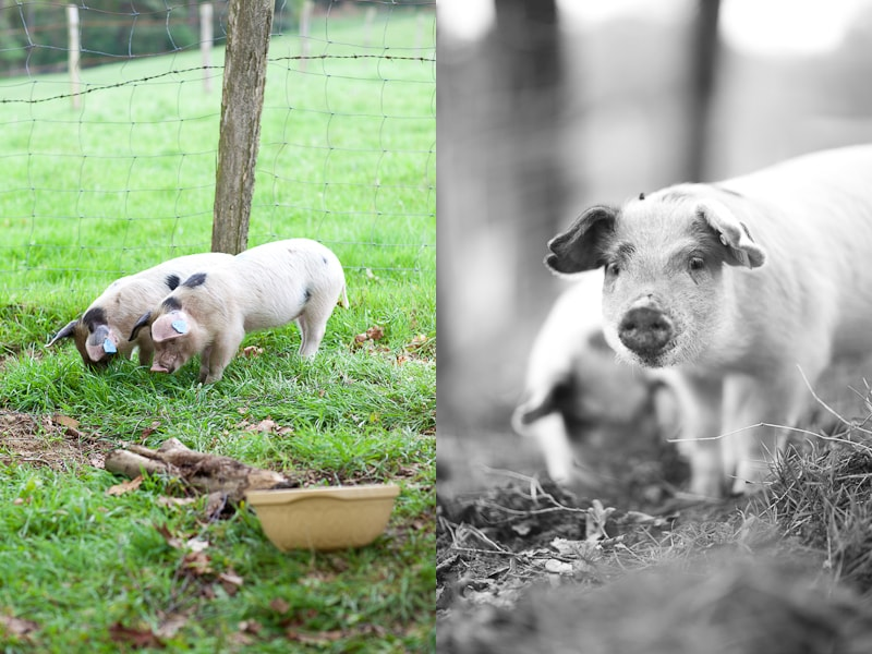 Our Pigs, Susi & Carla.
