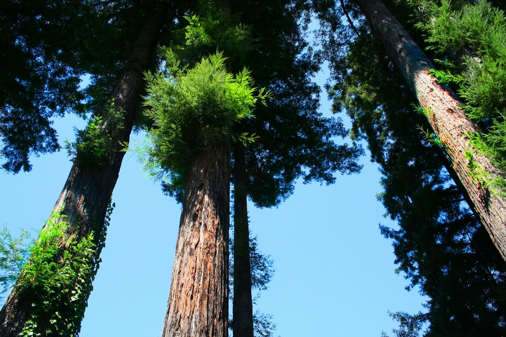 Lots of tall redwoods, apple trees and blackberry bushes...YUM!
