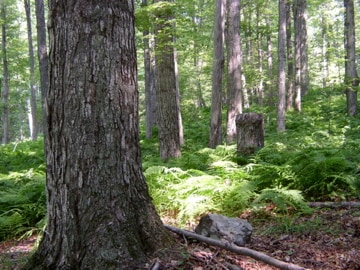 A view of the forest 400' NW of cabin