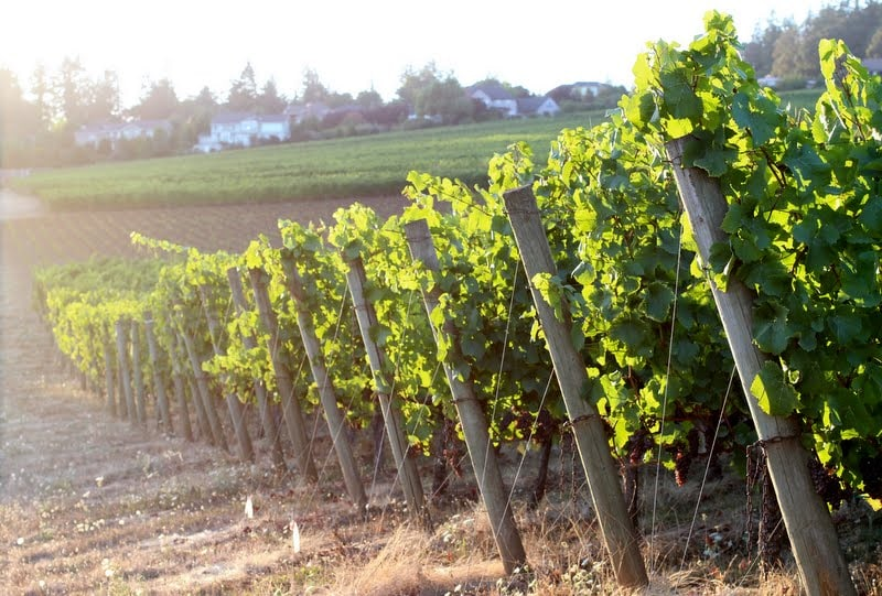 July: Early morning glory in the vineyard.