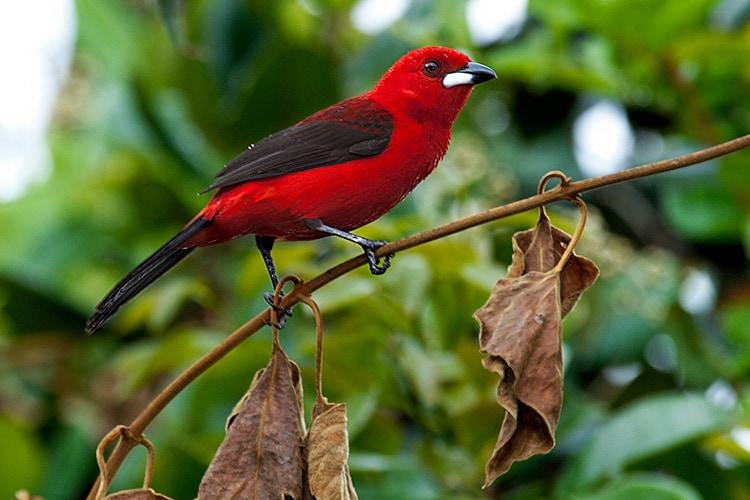 Tiê Sangue, pássaro nativo da Mata Atlântica e que dá nome ao nosso refúgio.