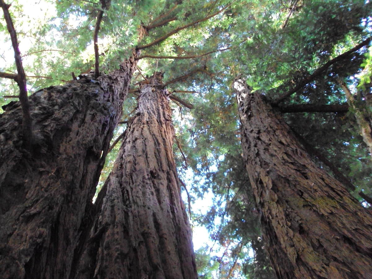 Redwoods await you down an easy trail outside your door.