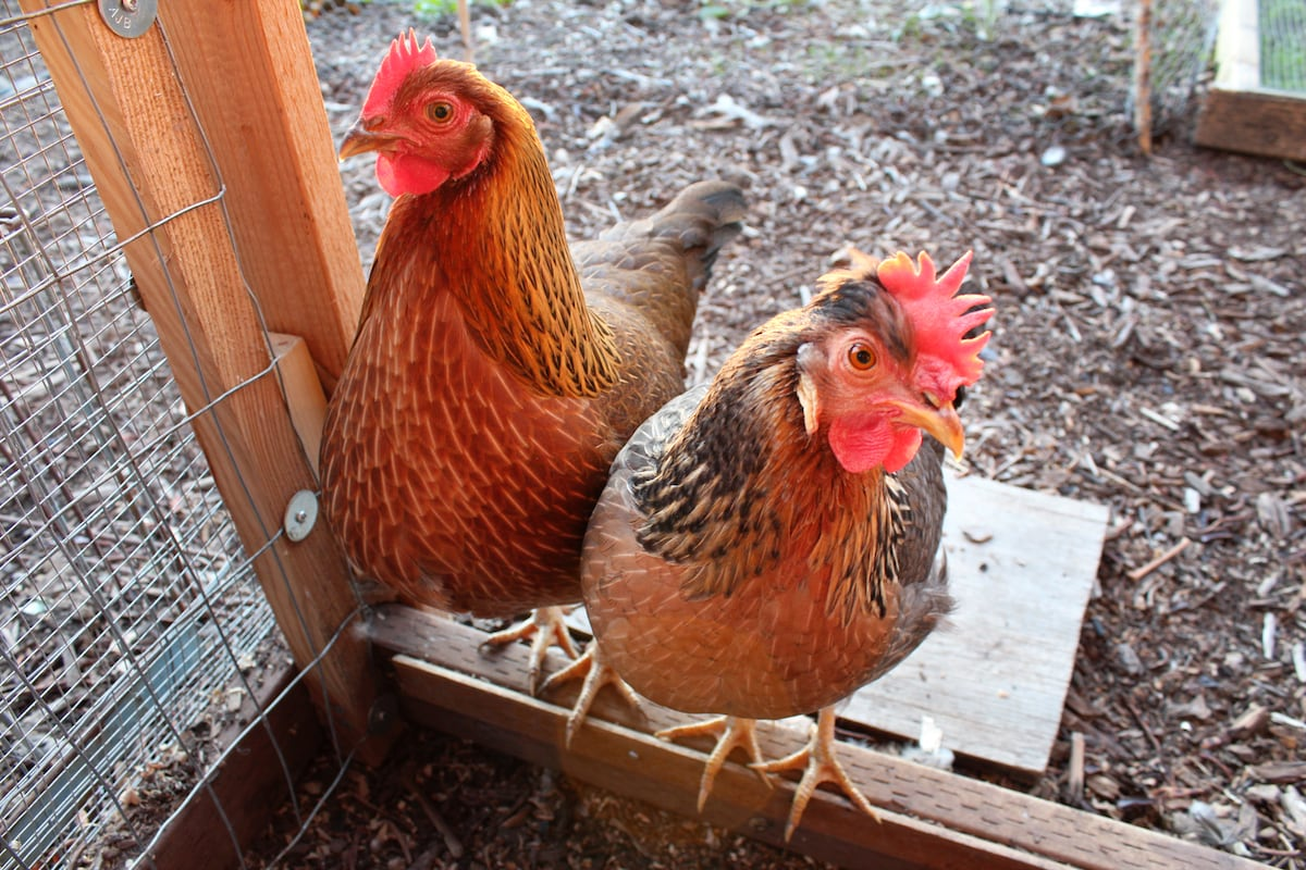 Chicken theater (all hens) with complimentary eggs.