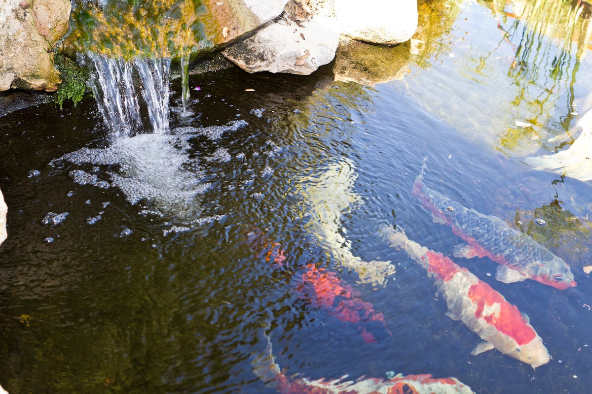 Enjoy the sounds of the waterfall in the koi pond.