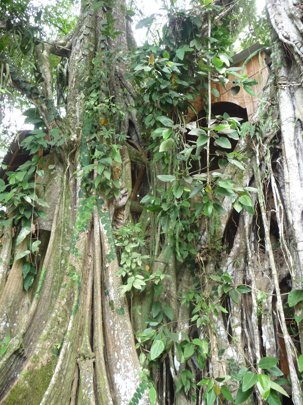 treehouse in a giant rubber tree (ficus)