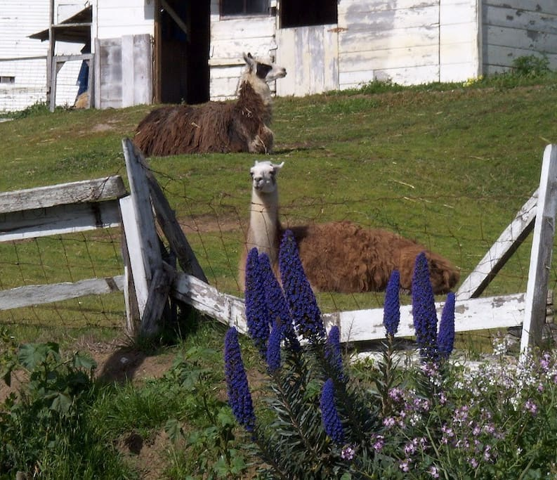 Llamas across the street