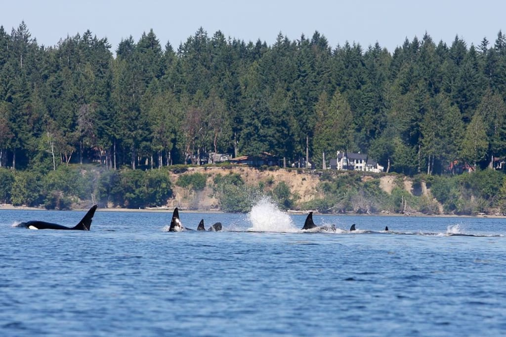 Here's a large pod of Orcas that visited our shore in June 2015. We've seen more Orcas this year than ever before.