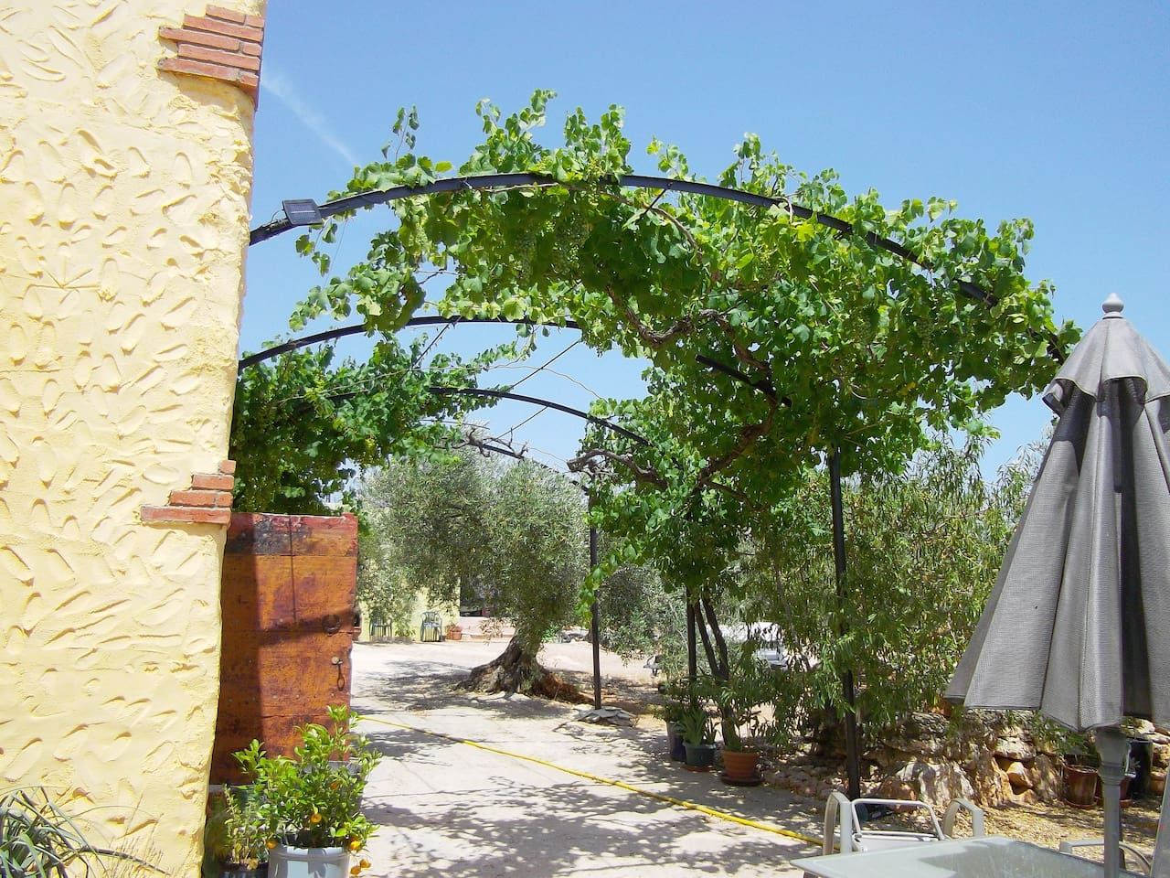The vine in early summer.