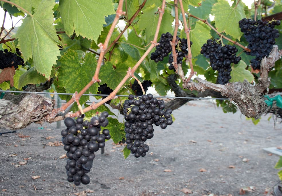 Pinot grapes at Folkstone Vineyards. Discounts for our guests on winery tours and wine!