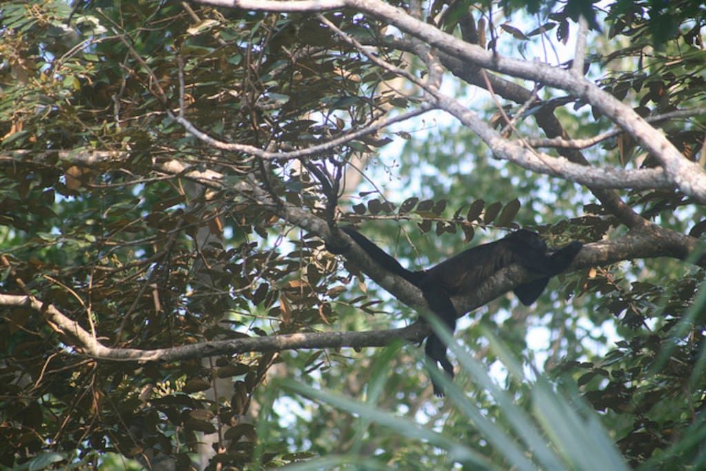 Howler monkey just hanging around the house (took this photo from the master bedroom)
