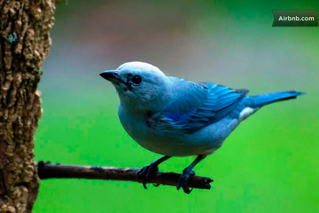 Blue tanager - our garden