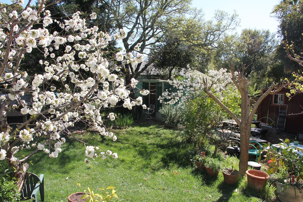 Blooming cherry trees in spring in backyard.