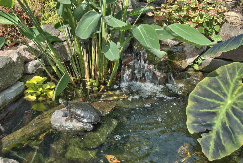 My 29 year-old turtle shares the pond with the Koi. His name is Butkus and he's a sun-loving guy.