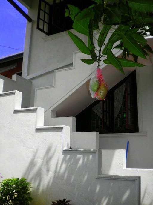 Mangos growing in the entrance area