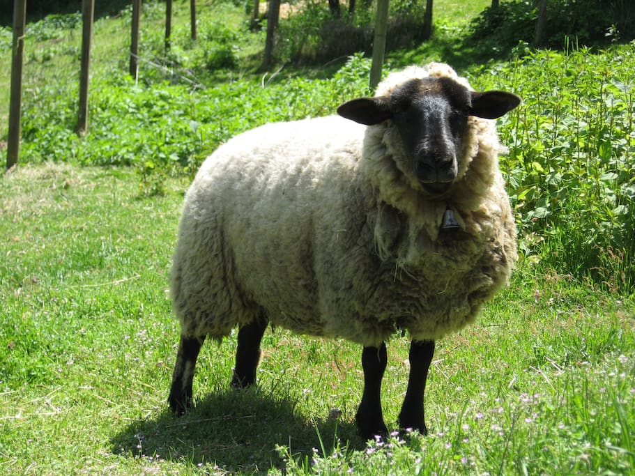 One of the sheepies.  This one is named Sheepie!