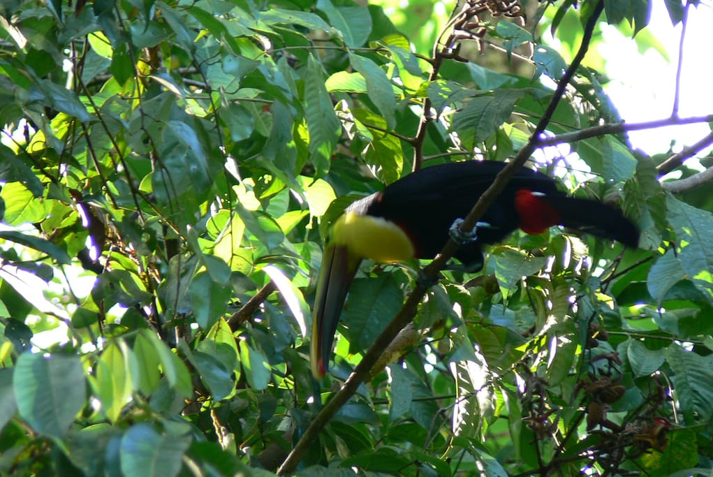Toucan in the rain forest - Waterfall Villas
