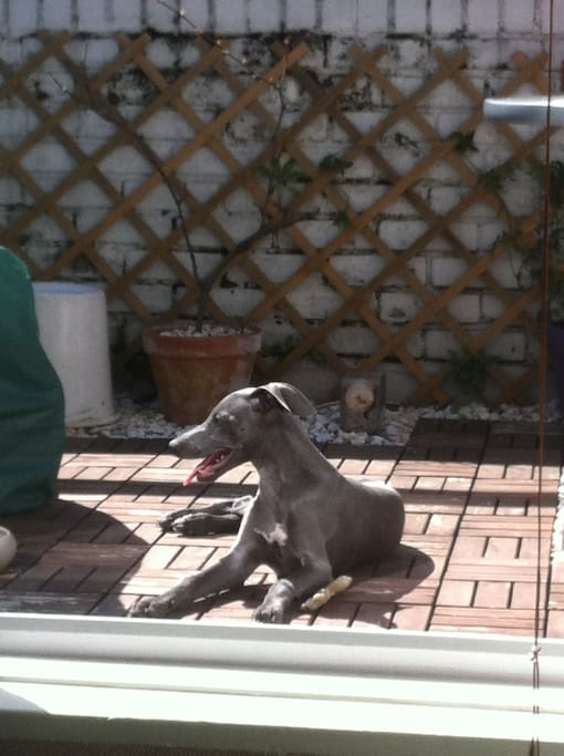Santino, the Blue Whippet