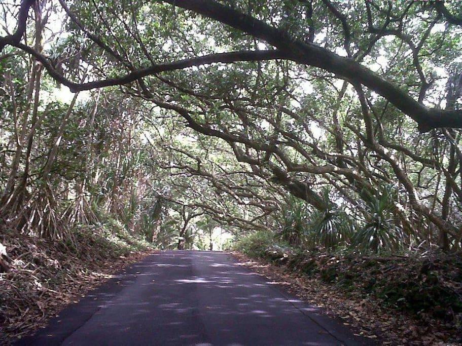 A stretch of Kalapana-Kapoho Beach Road' near Coconut Palms Palms...just around the corner!
