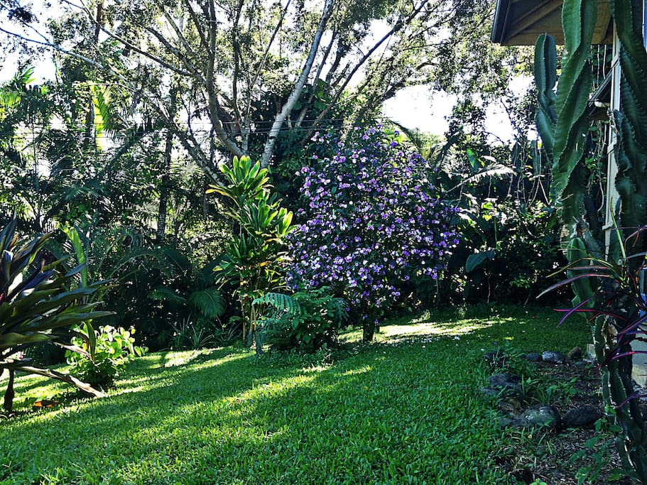 Jacaranda's in full bloom.