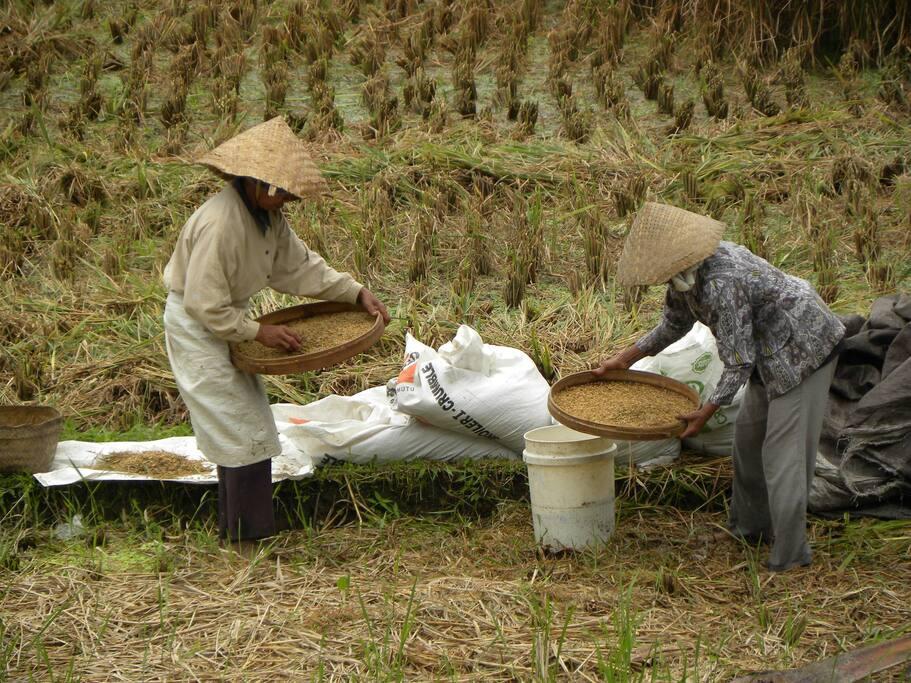 Récolte du riz devant la villa