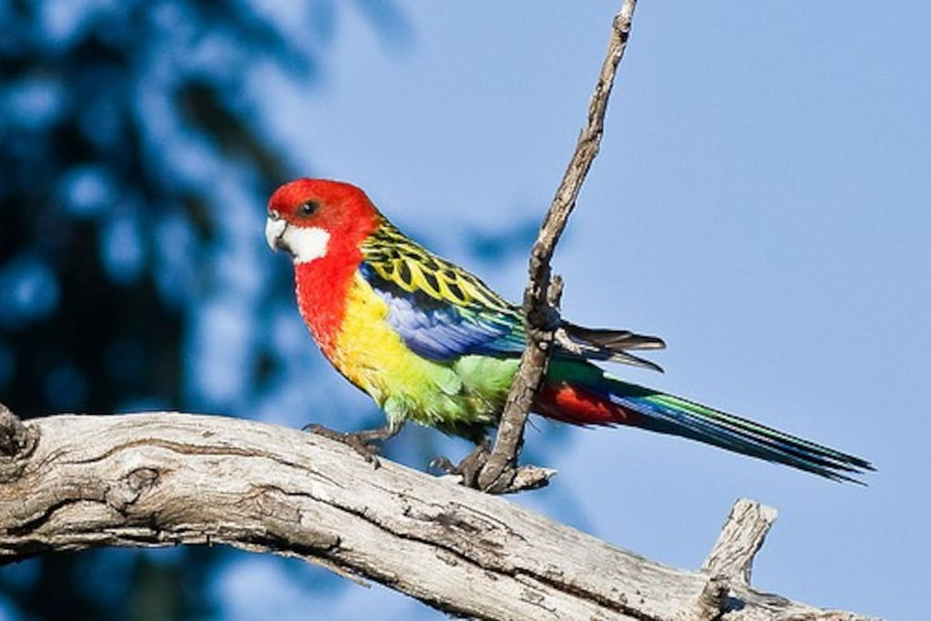 eastern rosellas and rainbow lorikeets are often spotted in the garden