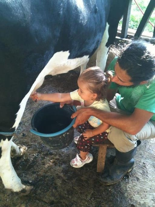 Milking a cow at Casitas Tenorio. We have a dairy farm on the property and guests can participate in farming activities including milking!