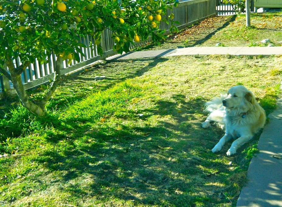Our sweet dog Lyle in the shade of the lemon tree.