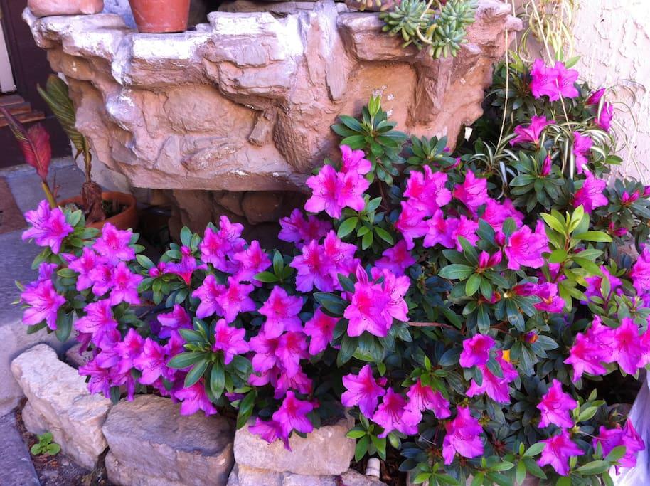 Azeleas in Spring near the front door