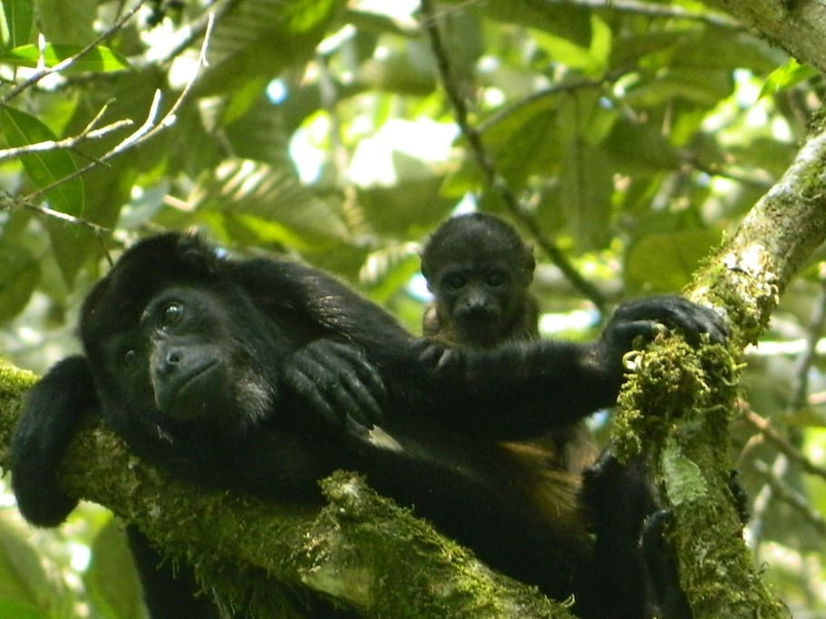 Howler monkeys in front of the lodge