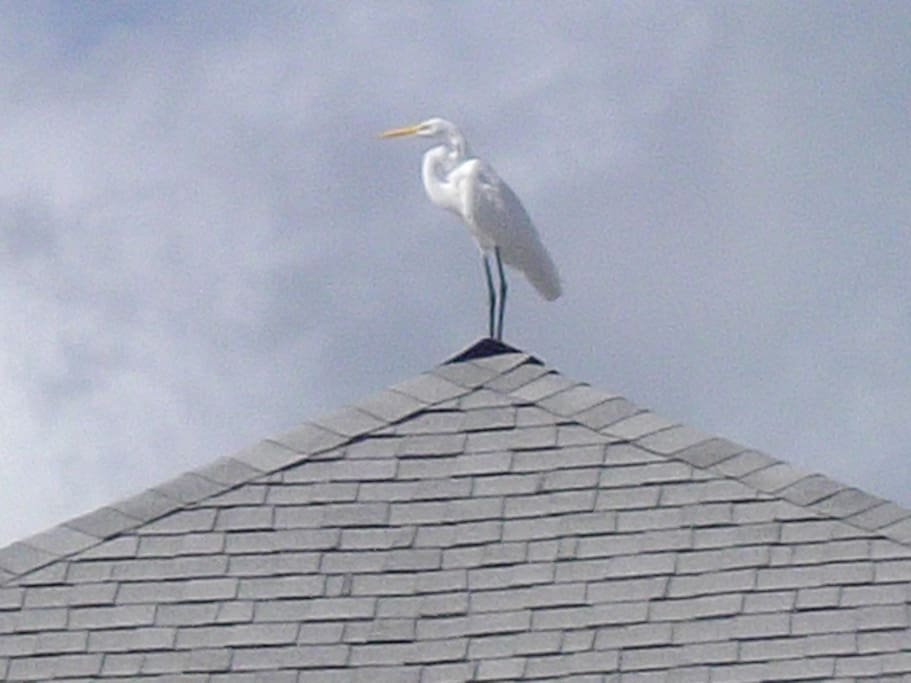 A Great Egret  sometimes perches on the roof opposite