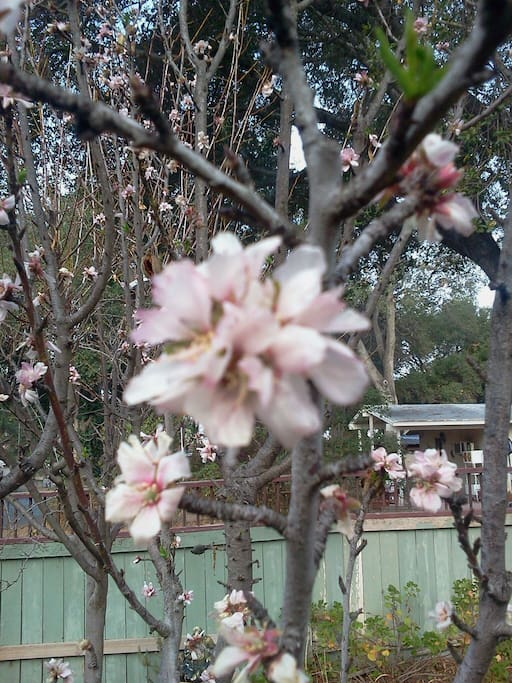 Spring has arrived! This is a future peach pie!