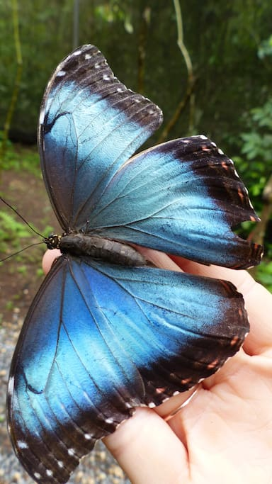 Blue Morpho inside the butterfly garden!!
