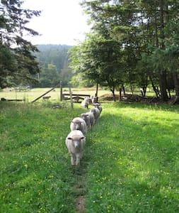 Gulf Island heritage sheep farm