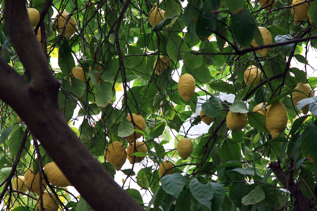Pick your lemons from the tree (when in season)